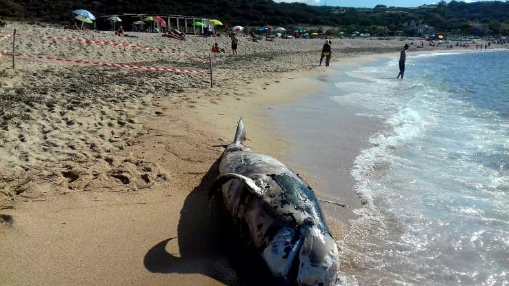 Balena spiaggiata in Sardegna: cosa è accaduto? [FOTO GALLERY]